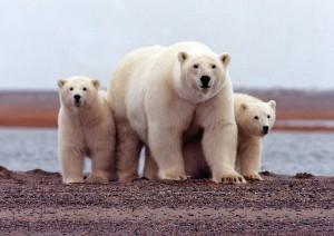 全球暖化最大受害者 北極熊數量恐減3成