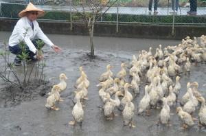 三星鄉推自然農法 放周杰倫給鴨子聽