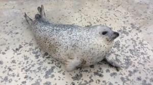 拍打紮實肥肚  這隻海豹「啪啪啪」萌死人