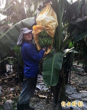 香蕉產地價1公斤120元 飆上歷史天價