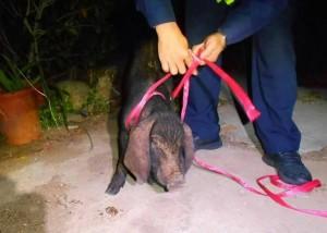 警察抓小豬 像不像「野豬騎士」?