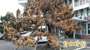 台東高中龍柏強颱中重生 卻受不了東北季風