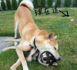 萌犬!「追錯球」誤含兄弟 黑柴無奈眼神死