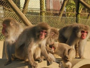血統不純正... 日本動物園撲殺57隻獼猴