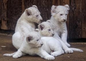 罕見小白獅超可愛 依偎在爸媽身邊萌度爆表!