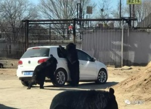 虎咬死人動物園又出事 黑熊趴車伸爪進窗