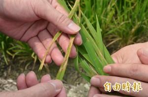 氣溫變化大 南部一期水稻發生葉稻熱病