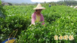 茶葉殘留農藥欲放寬 自然農法農友嘆無奈