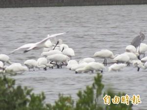 全球黑琵普查3941隻 台灣佔66%穩居世界第一
