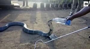 南印度嚴重乾旱 眼鏡王蛇闖進村莊找水喝