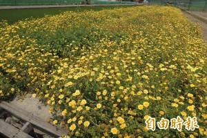 田間茼蒿黃色花海 美麗景色背後是農民心酸