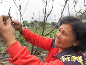 受氣候影響   台東熱帶水蜜桃減產!