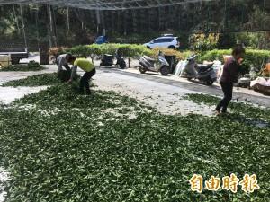 雲林山區缺水嚴重 春茶減少5成、螢火蟲數量少