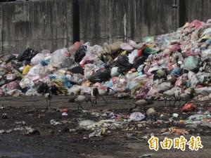 埃及聖鹮搶白鷺鷥地盤!北港垃圾場見爭食