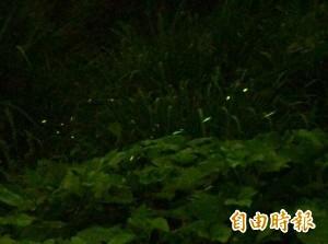 彰化「螢河」!花壇秘境爆量火金姑飛舞