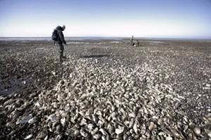 生蠔長滿海岸成危機 丹麥求助中國人來吃
