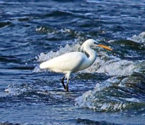 比黑面琵鷺還少! 罕見唐白鷺集體現身高屏溪口