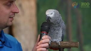 天才灰鸚鵡口技神片 竟連雷射槍、浴室回音都能學啦!