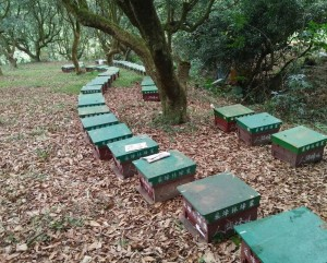 農藥防治荔枝椿象 蜜蜂遭殃死大半