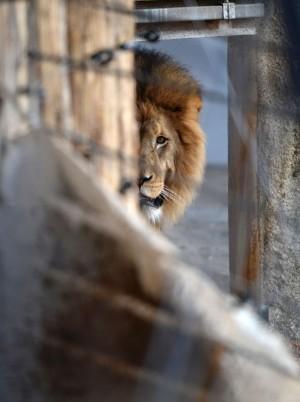 獅子面臨滅絕危機  研究:可能會在一世代內消失