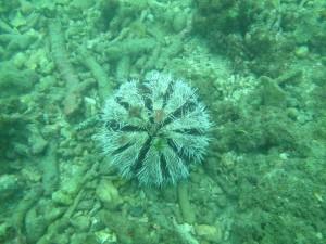 澎湖馬糞海膽尚未開放採捕 就傳出有人偷跑遭逮