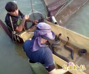 高市府輔導鱸鰻產業升級每斤800元 經濟產值近2億元