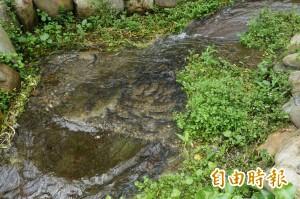 圓吻鯝魚溯溪產卵大爆發  全世界只龍潭湖看得到