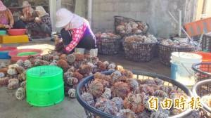 馬糞海膽尚未開放就偷採  已查獲2件共171顆