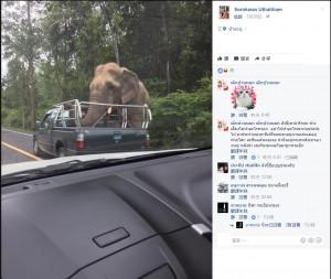 打劫! 泰國野象超狂 攔路搜車搶鳳梨