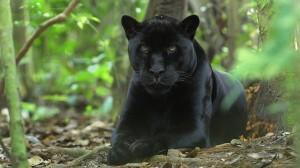 英國女子吃飽飯出門散步 驚見黑豹在進食