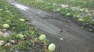 河床西瓜泡水   清水農友質疑河川局是元凶