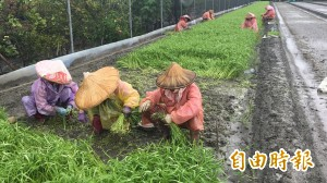 菜園成水池 雲林西螺果菜市場菜價飆漲2倍