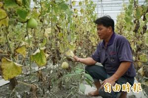 果農滿手的香瓜訂單…瓜卻泡爛了