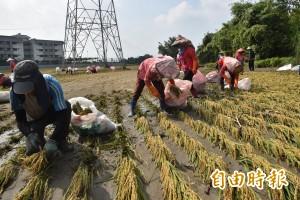 稻作遭土石淹沒  雲林老農僱工挖土拾穗