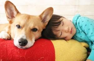 當我們睡在一起!柯基與小弟的午憩日常 爆笑睡姿萌翻網友