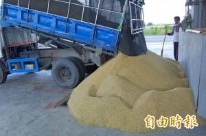 一期稻作收成近尾聲 農會、碾米業者忙翻