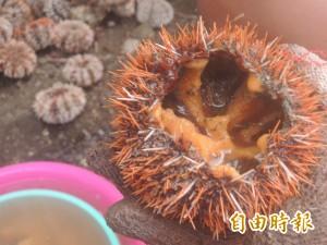 馬糞海膽開採首日 北辰市場未見蹤影