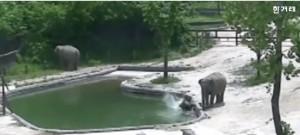 南韓小象落水 一隻大象喊燒、兩隻大象神救援
