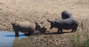 犀牛被河馬拖進水中淹死 巡守員:這就是自然