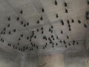 女青農種「蝠祿地瓜」 農場蝙蝠「生」意興隆