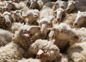 驚呆了!200多隻綿羊集體跳崖自殺 原因竟是...