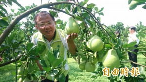 麻豆文旦今年產量恢復水準  8月底採收