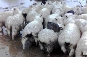 紐西蘭淹大水 3隻野兔直接騎上綿羊逃難