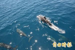 花蓮首推聯合海葬 海豚「躍身擊浪」現蹤送行