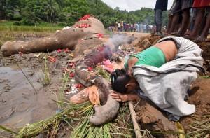 人類爭棲息地 印度象虎平均一天殺一人