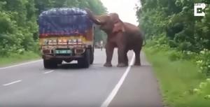 餓壞了!大象國道攔車強攻馬鈴薯