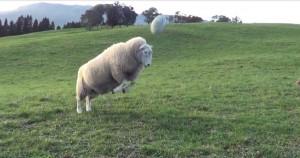 綿羊先生的頂上功夫 網友︰萌翻了!