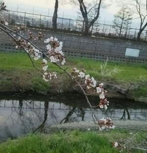 狠心! 日本嬰兒臍帶未剪 被直接種在土裡