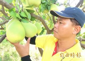 麻豆、下營文旦產值34億 「寶柚大隊」有秘密武器
