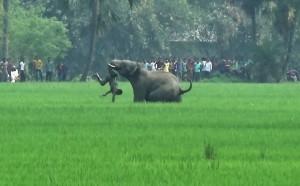 連續踩死15人 印度官方正追緝並擬射殺這隻大象